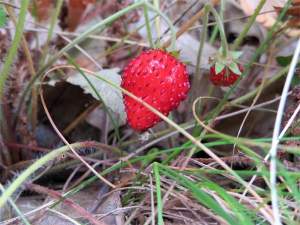 Une fraise des bois aux parenthèses imaginaires